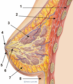 breast_anatomy_normal_scheme